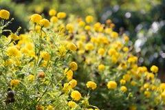 The beatiful Marigolds field Stock Photo