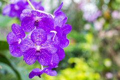 Beatiful orchid in the garden Royalty Free Stock Photos