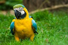 Beatiful parot in the grass Stock Photography
