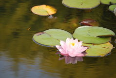 A beatiful pink nenuphars on the lake Royalty Free Stock Images