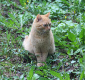 Beatiful red cat. Red cat walking in the garden stock image