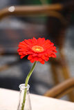 Beatiful red flower in a glass vase. In a restaurant Royalty Free Stock Photo