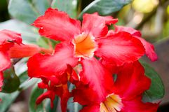 Beatiful red Impala lily have red petal and green leafs. Beatiful red Impala lily have red petal and green foliages. Its has tropical area and in general have Royalty Free Stock Photos