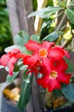 Beatiful red Impala lily have red petal and green leafs. Beatiful red Impala lily have red petal and green foliages. Its has tropical area and in general have Stock Images