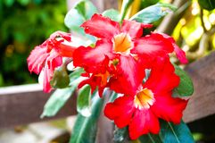 Beatiful red Impala lily have red petal and green leafs. Beatiful red Impala lily have red petal and green foliages. Its has tropical area and in general have Stock Photos
