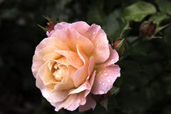 Beatiful rose with drops of dew royalty free stock photo