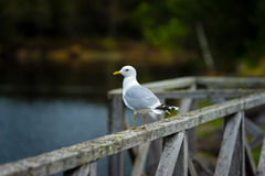 Beatiful Seagull. Seagull sitting at the sea Stock Images