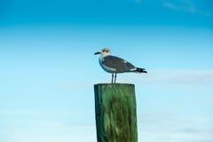 Beatiful Seagull. Seagull sitting at the sea Stock Image