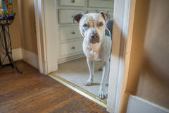Beatiful and soulful pit bull dog in doorway Stock Photos