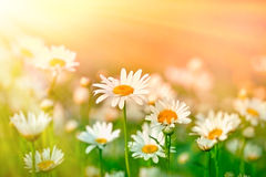Beatiful spring daisy Stock Photo