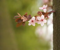 Beatiful spring flowers in soft light. Royalty Free Stock Images