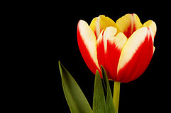 Beatiful tulip. Colorful tulip on black Royalty Free Stock Photos