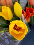 Beatiful Tulip Flowers Yellow and Red 4k. Yellow red and orange tulips Royalty Free Stock Photos