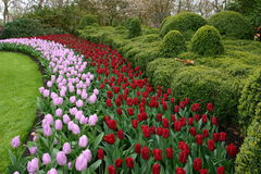 Beatiful tulips keukenhof, lisse Stock Image