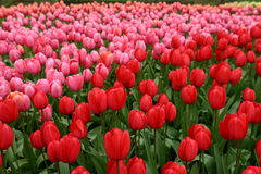 Beatiful tulips keukenhof, lisse Stock Photography
