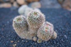 Beatiful View of cactus garden, Jardin de Cactus in Guatiza, Lanzarote, Canary Islands, Spain. A large diversity of cactus plants growing in a beautiful Jardin stock image