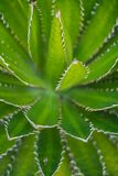 Beatiful View of cactus garden, Jardin de Cactus in Guatiza, Lanzarote, Canary Islands, Spain. stock photo