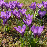 Beatiful violet crocus flower close up in the spring grass Stock Photography