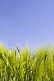 Beatiful wheat field and blue sky. Landscape Stock Image
