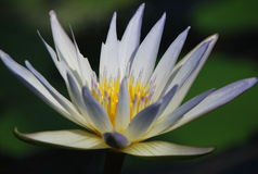 A beatiful white nenuphar on the lake. A beautiful white water lily or nenuphar on the surface of lake. It is an aquatic flowering plant. It grows in water and royalty free stock photo