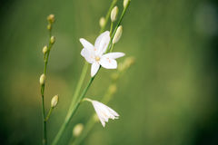 Beatiful wild flower Royalty Free Stock Photography