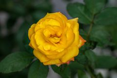 Beatiful yellow blossoming rose in garden. Yellow rose flower with green leafs blooming in garden, on blury background royalty free stock images