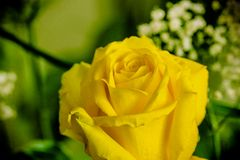 Beatiful Yellow rose on a  green background Royalty Free Stock Images