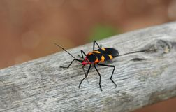BEATIFULL INSECT. RED YELLOW BLACK WOOD INSECT Stock Photos