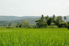 Beatifull Rice field Royalty Free Stock Photography