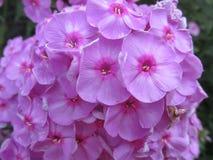 Beatifull violet flokses on Ukraine. Sammer, morning, garden, dream, young, flowers, girl, floxes. Beatiful garden floxes on sammer morning and good mood every Stock Images