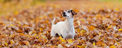 Beatifung small dog in autumn leaves stock photo