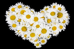 Beating real daisies heart. Isolated on a black background stock image
