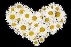 Beating real daisies heart Stock Image