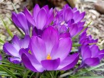 Beatitudine porpora in primavera fotografia stock libera da diritti