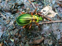 Beatle - carabus auronitens Royalty Free Stock Photography