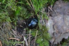 Beatle dans la forêt Photos stock