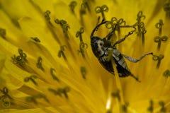 Beatle en fleur Photographie stock