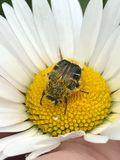 Beatle on flower stock photos