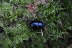 Beatle in forest Stock Photography