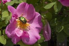 Beatle sur une fleur Image stock