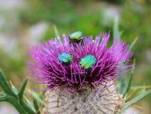 Beatles on wild purple flower thistle. Detail of beatles on purple mountain flower Stock Image