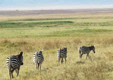 The beatles zebras Stock Images