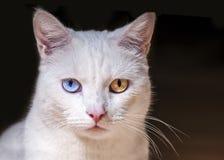 Beatrix. White cat with the amazing eyes Royalty Free Stock Photo