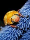 Beattle Blue Eyes. Tropical Beattle-Amazing CostaRica-Nadia dei royalty free stock photos