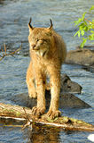 Beatufiul Lynx crosses a river. Royalty Free Stock Images