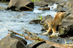 Beatufiul Lynx crosses a river. Royalty Free Stock Photos