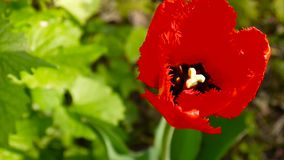 Red tulip flower video footage. Beatuful red tulip flower on the wind video footage static camera HD stock video