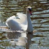 Beatuful white swan swimming toward you. Reservation Askania Nova, Ukraine Royalty Free Stock Images