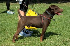 Beaty brown dog ready to run. Beauty brown dog ready to run with his uman royalty free stock photos