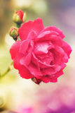 Beaty rose Stock Photo